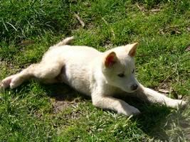 A cute dingo puppy.