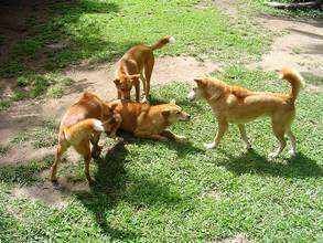 four-dingos