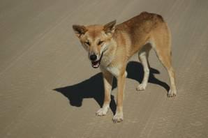 A Fraser Island Dingo
